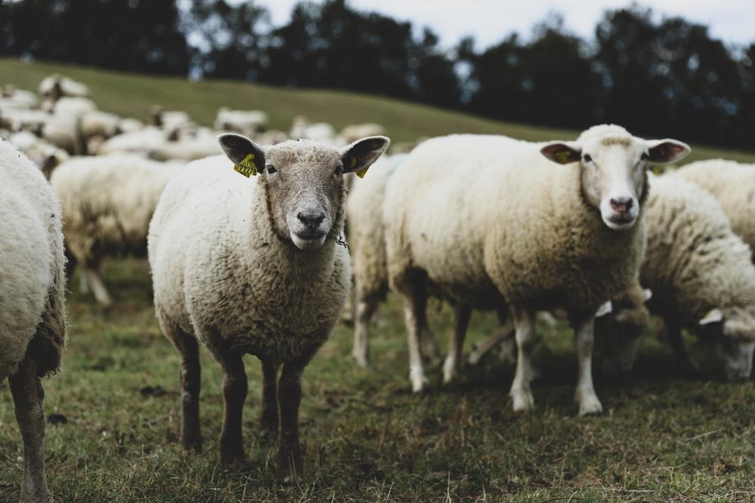 Les Moutons de l'Ouest : une solution pour entretenir les espaces verts